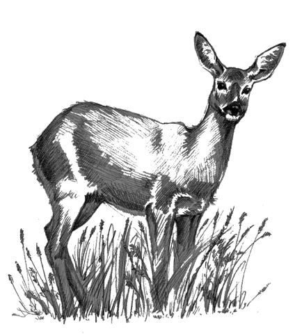 roe_deer_drawing2